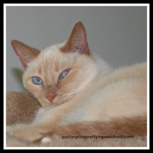 Our blue-eyed cat.