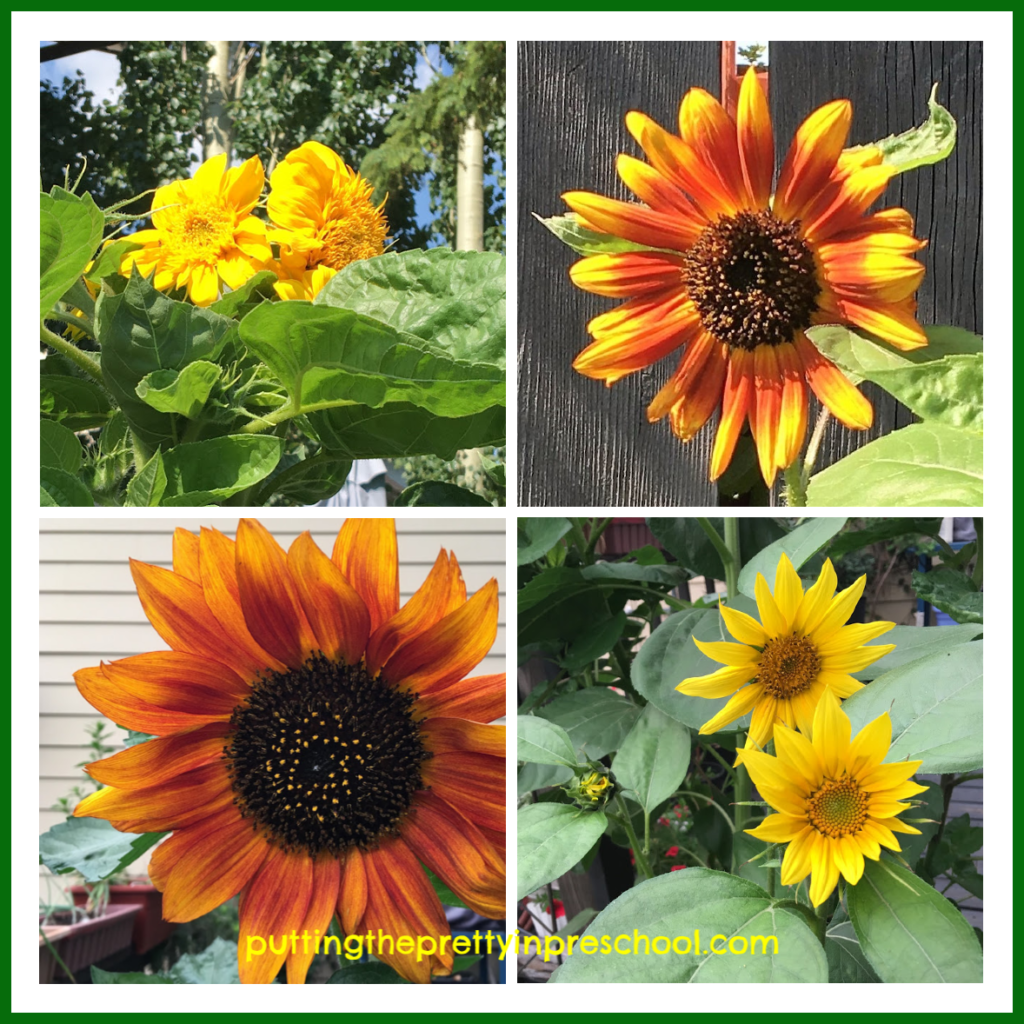 Sunflowers in different colors, shapes and sizes.