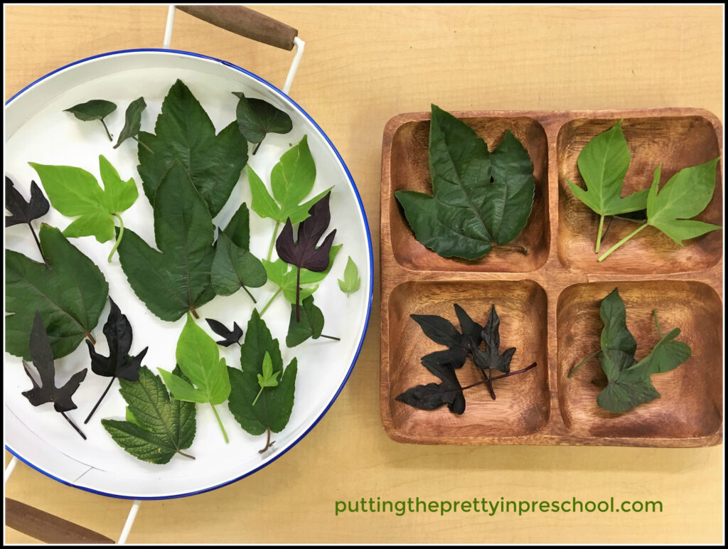 An iInvitation to sort sweet potato vine and passionflower leaves. A Math activity using nature materials.