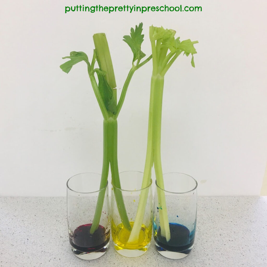 Celery stalks placed in two different jars of colored water.