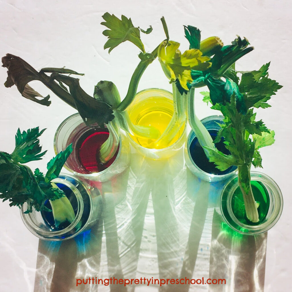 Color change in celery as a result of adding food coloring to the water.