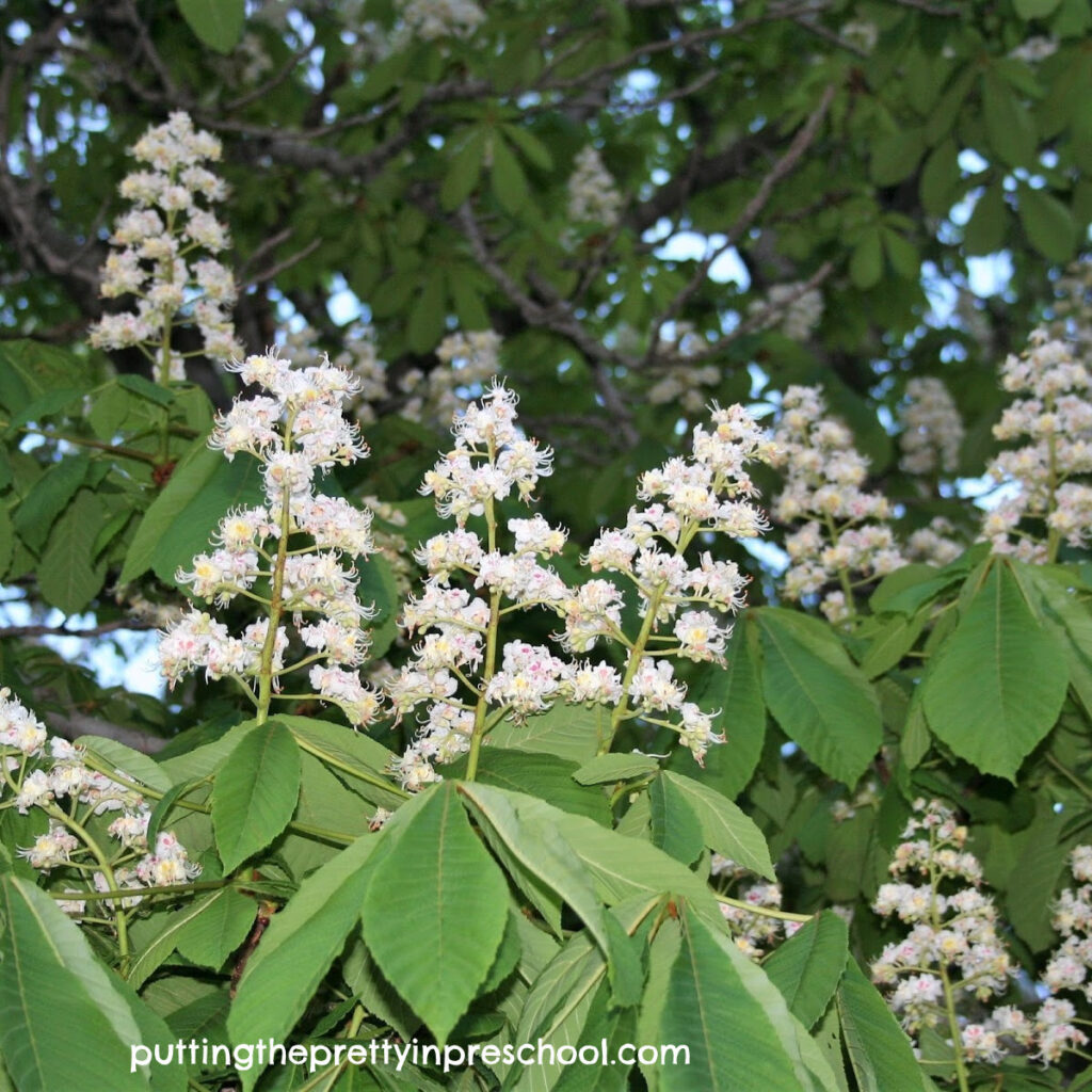 Horse chestnut tree flowers in spring.
