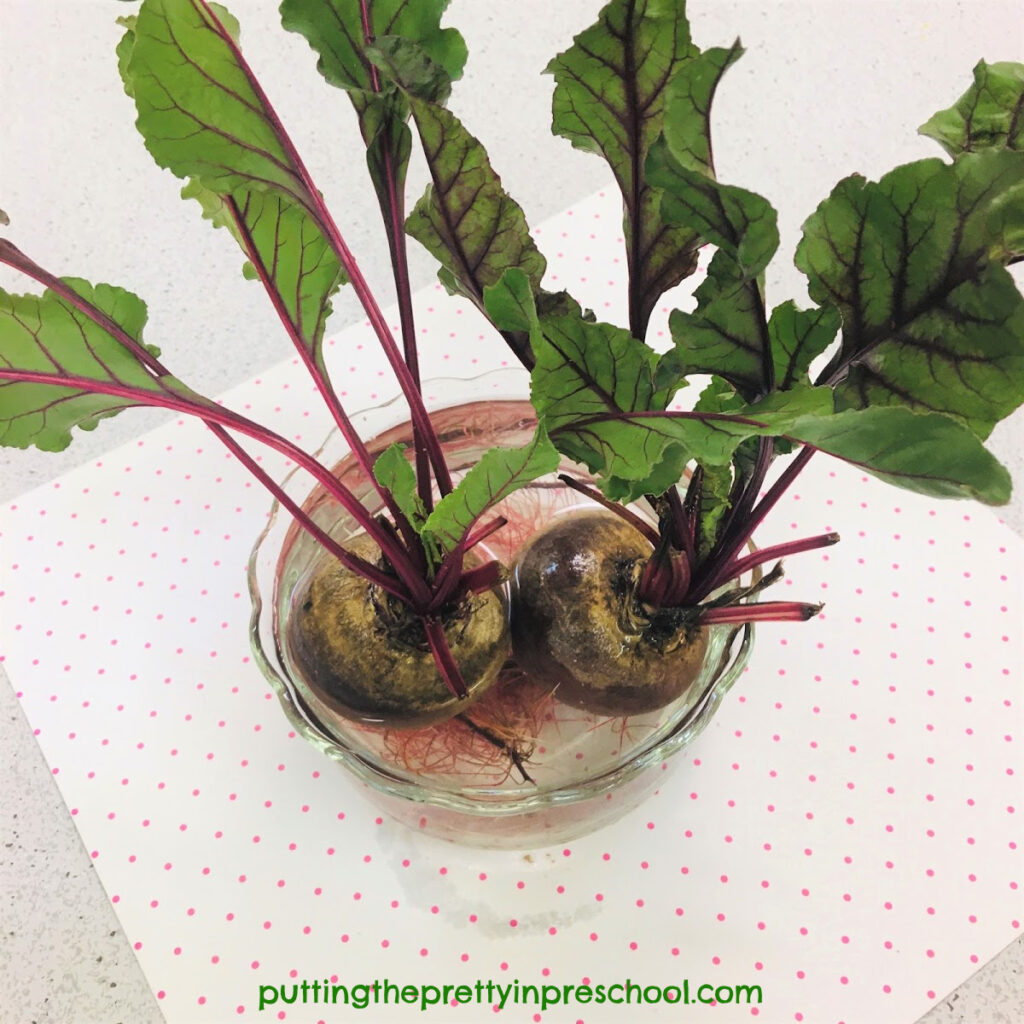 Science experiment to see if red beets can grow new greens.