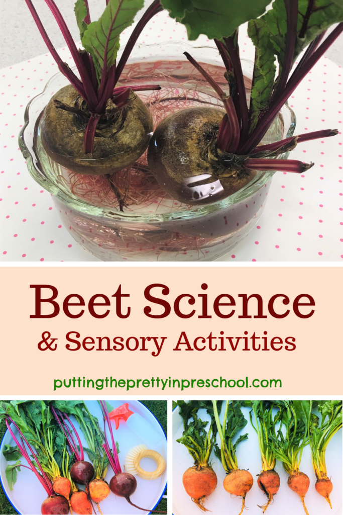 Beet science and sensory activities. Beet washing station, ordering beets by size, and growing new greens and roots. Links to two festive recipes.