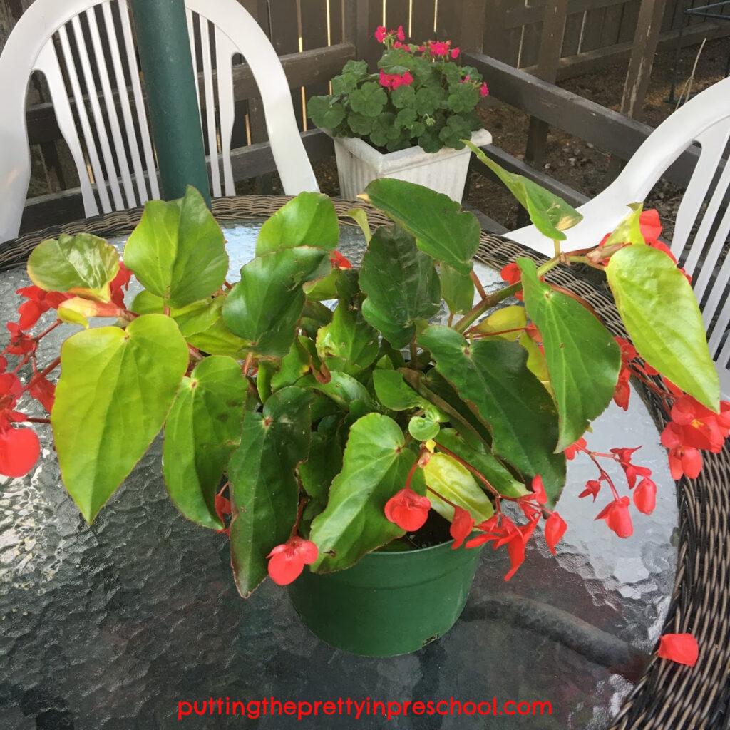 Dragon wing begonia plant.